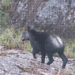 Fotografiado el Tapir de Montaña